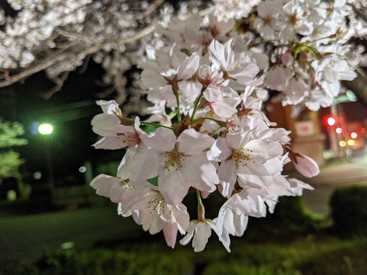 夜桜 宍粟市アップ